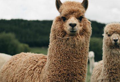 Crafty Fibres: Introducing Alpaca